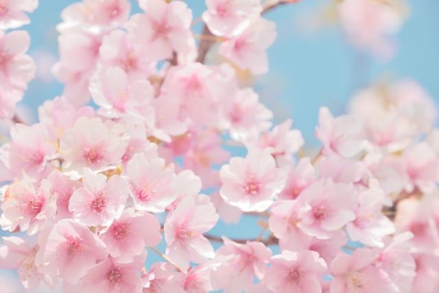注目成分「桜の葉」